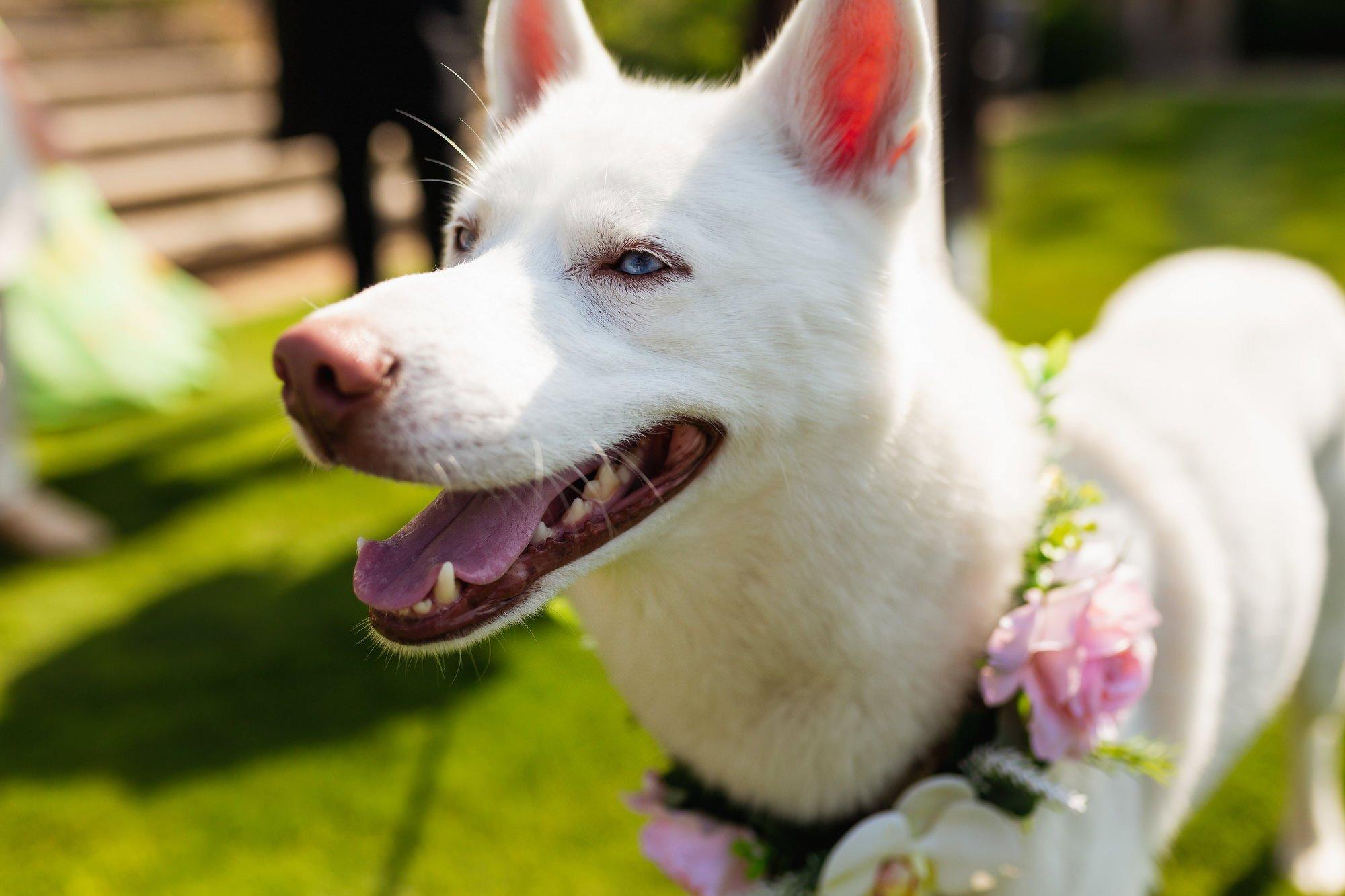 Euridge Manor, Cotswolds, white husky dog, Asian Wedding Photography